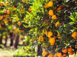 Oranges 2-1-1